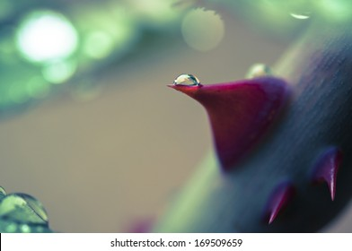 rose thorn with drop macro