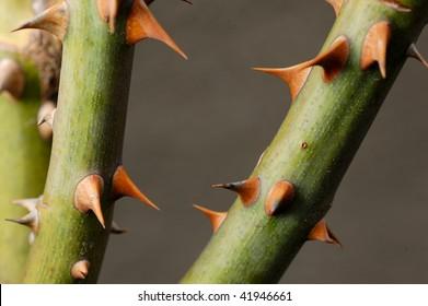Rose thorns