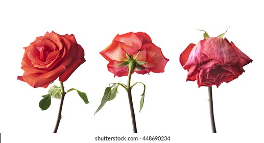 Rose at three stages of the life cycle from flowering to wilting