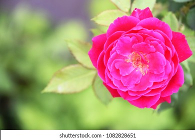 Rose from top