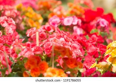 rose, tuberous, begonias, begonia, tuberhybrida Used for background