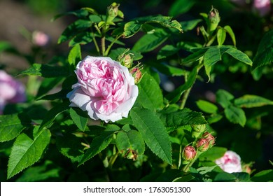 Rose variety Jacques Cartier flowering in a garden.