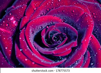 Rose with water drops. Macro shot with shallow depth of field. Color toned image.