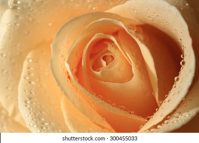 Rose with a water drops on the petals, soft-colour orange. Tea rose close-up.