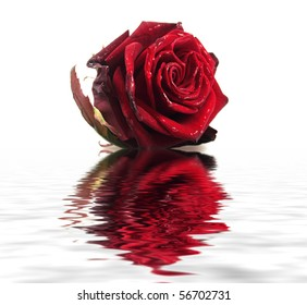 Rose with water drops reflected in the water