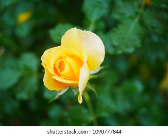Rose wet with rain
