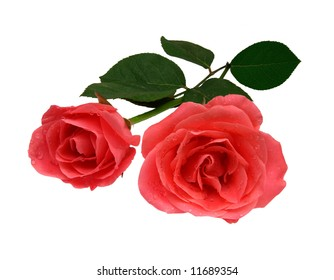 Rose in white background