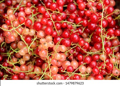 Rose or white currant, red currant , pink currant berries, fresh fruit background. Close up