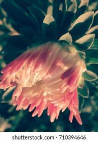 Rose white flower garden