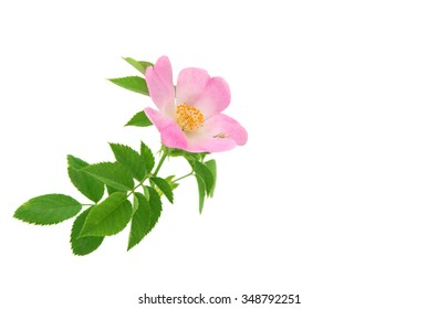 Rose wild rose on a white background