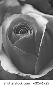 rose without Color, black and White optics of a beautiful rose