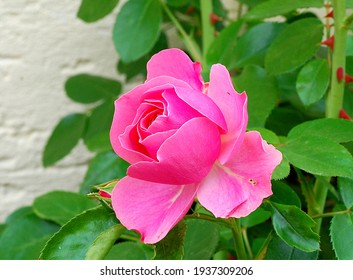 A rose is a woody perennial flowering plant of the genus Rosa, in the family Rosaceae, or the flower it bears. There are over three hundred species and tens of thousands of cultivars.