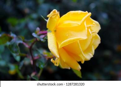 Rose, yellow rose