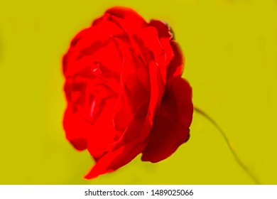 rose with yellow blurred background