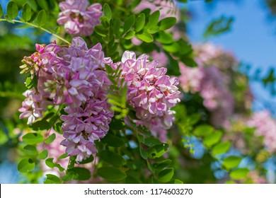 Roseacacia Robinia Hispida Background On Tree Stock Photo Edit Now