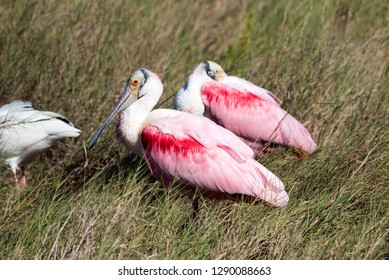 roseate, spoonbill, bird, wild, wildlife, nature, florida, canaveral, national, seashore, pink, white, feathers,