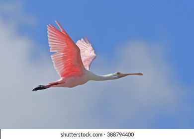 Roseate spoonbill in flight at eye level. Latin name - Ajaia ajaia, Platalea ajaja.