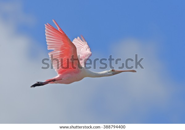 roseate-spoonbill-flight-eye-level-600w-