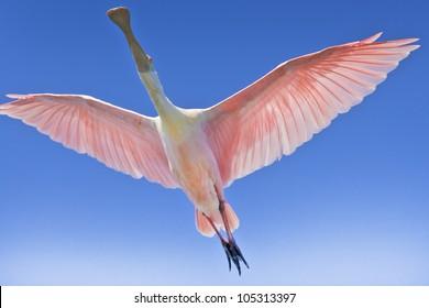 roseate-spoonbill-flight-latin-name-260n