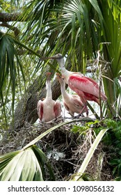 Roseate Spoonbill getting ready to feed her baby chicks