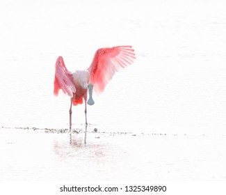 Roseate Spoonbill isolated with white background