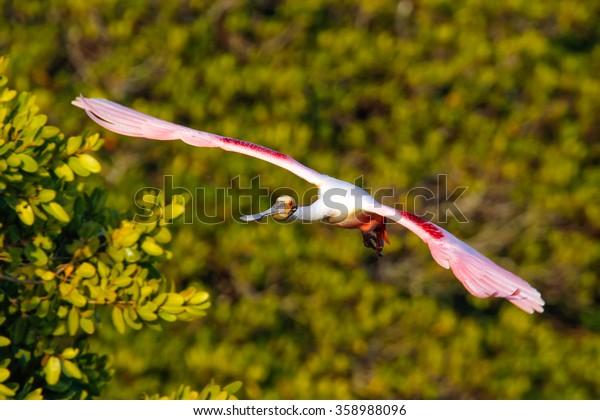 Roseate Spoonbill (Platalea ajaja) in flight near the nest