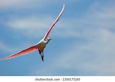 Roseate spoonbill, Platalea ajaja, flying toward camera with wings outspread above a swamp in St. Augustine, Florida.