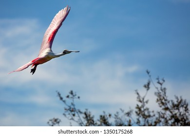 Roseate spoonbill, Platalea ajaja, flying with wings outspread above branches of a tree at a swamp in St. Augustine, Florida.