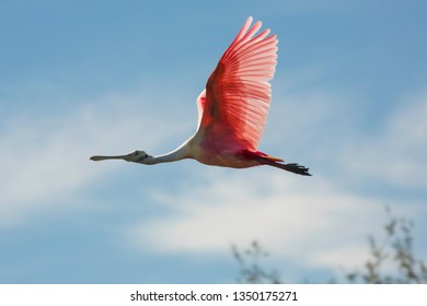 Roseate spoonbill, Platalea ajaja, flying with wings outspread above a swamp in St. Augustine, Florida.