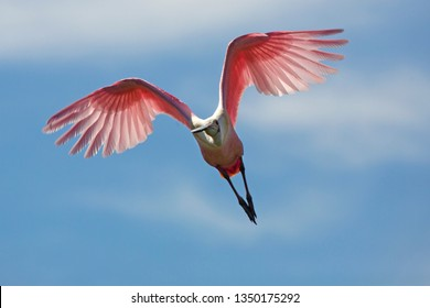 Roseate spoonbill, Platalea ajaja, flying toward camera with wings outspread and folded in a V shape, above a swamp in St. Augustine, Florida.