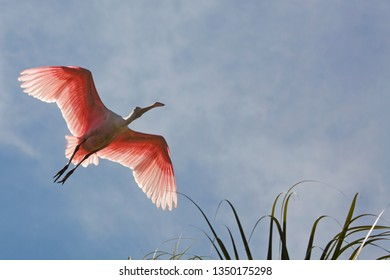 Roseate spoonbill, Platalea ajaja, flying with wings outspread over tropical foliage at a swamp in St. Augustine, Florida.