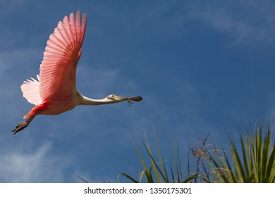 Roseate spoonbill, Platalea ajaja, flying with wings outspread and nest material in its bill, over tropical foliage at a swamp in St. Augustine, Florida.