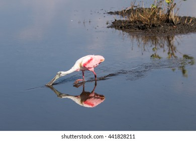 Roseate Spoonbill (Platalea ajaja) Foraging, Merritt Island National Wildlife Refuge, Florida