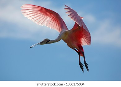Roseate spoonbill, Platalea ajaja, making a landing approach with wings outspread above a swamp in St. Augustine, Florida.