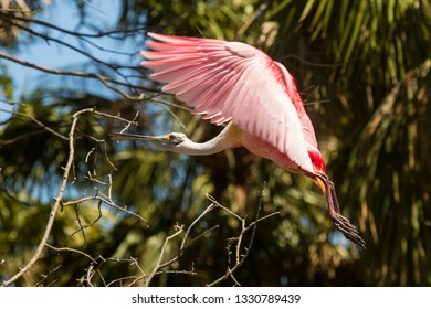 Roseate spoonbill, Platalea ajaja, slowing for a landing approach, with wings billowing in St. Augustine, Florida.