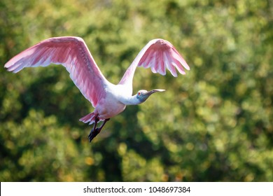 A Roseate Spoonbill (Platalea ajaja) taking flight after feeding on the shores of the Ding Darling National Wildlife Refuge on a beautiful May spring morning in Sanibel Island Florida.