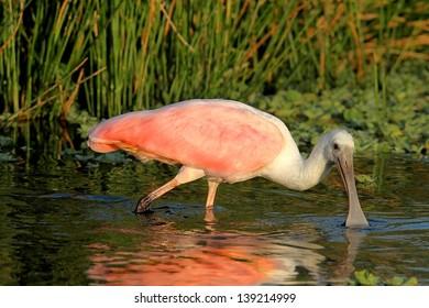 Roseate Spoonbill (Platalea ajaja) wading in the Florida Everglades