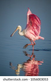 Roseate spoonbill prances through water