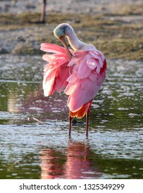 Roseate Spoonbill preening its feathers