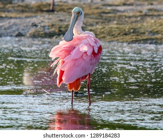 Roseate Spoonbill preening its pink feathers