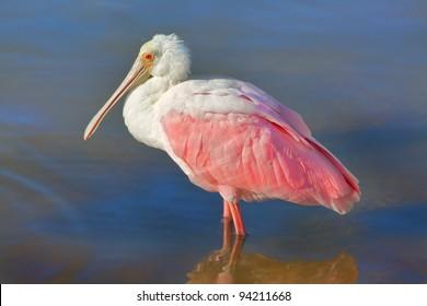 roseate-spoonbill-standing-lake-water-26