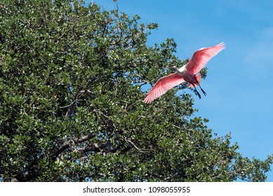 Roseate spoonbill taking flight with half sky and half tree in background