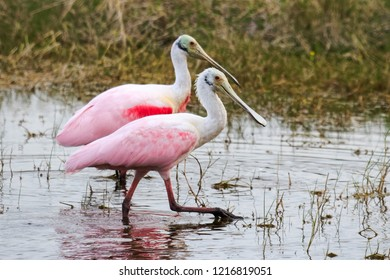 Roseate Spoonbills Browsing for Food in a Florida Everglades Swamp