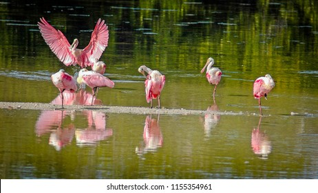 Roseate spoonbills can be seen in large numbers in the Spring, in J.N. Ding Darling National Wildlife Refuge, on Sanibel Island, on the West Coast of Florida.