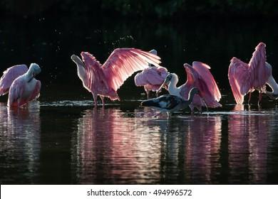 Roseate Spoonbills (Platalea ajaja) and juvenile white ibis (Eudocimus albus) in the golden hour, J.N. ''Ding'' Darling National Wildlife Refuge, Sanibel Island, Florida
