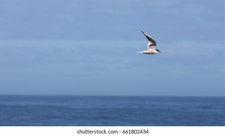 A Roseate tern in flight over Danger Point, South Africa.