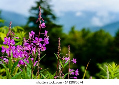 Rosebay Willowherb or Fireweed, Williams River Valley Overlook, Highland Scenic Highway, Monongahela National Forest, West Virginia
