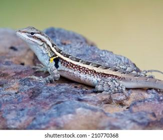 Rose-bellied Lizard (Sceloporus variablis) resting on a rock in South Texas