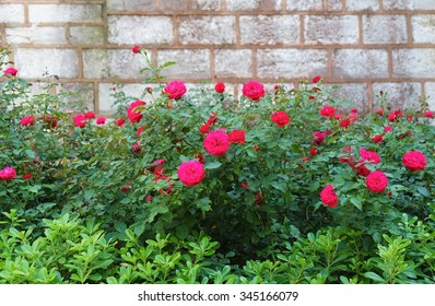 The rosebushes  growing near the brick, wall in the courtyard of Topkapi Palac, Istanbul, Turkey