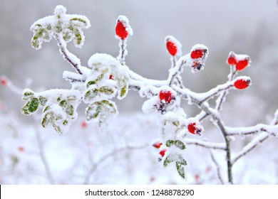 Rosehip berries covered with snow, selective focus and snow effect filters. Winter berries background